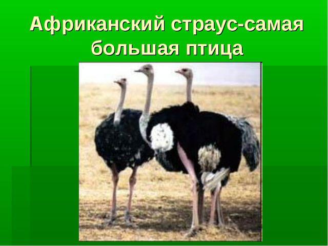Африканский страус-самая большая птица
