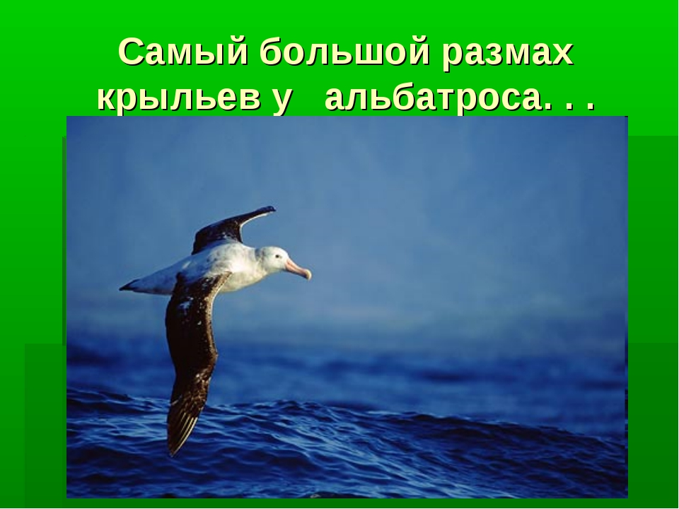 Самый большой размах крыльев у альбатроса. . .