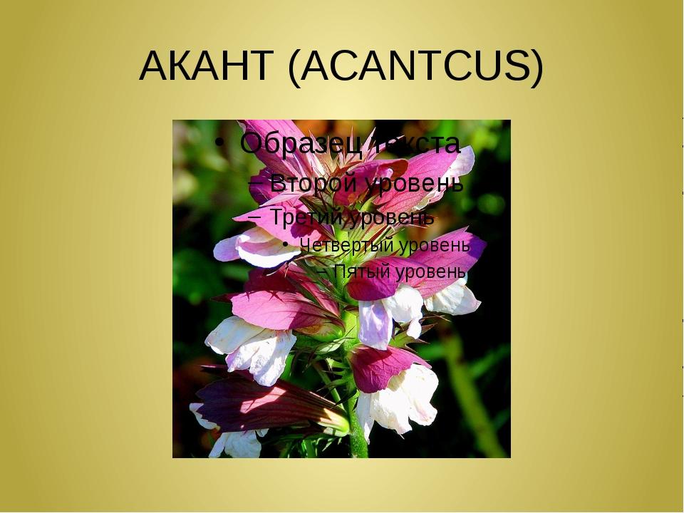 АКАНТ (ACANTCUS)