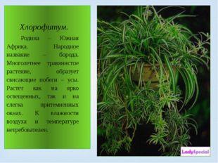 Хлорофитум. Родина – Южная Африка. Народное название – борода. Многолетнее