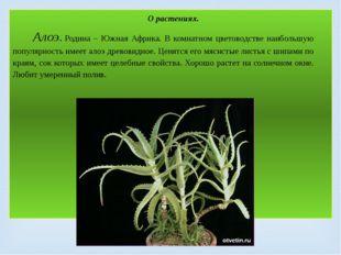 О растениях. Алоэ.Родина – Южная Африка. В комнатном цветоводстве наибольшую