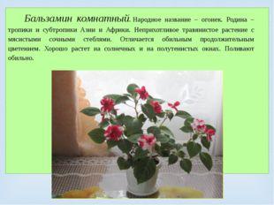 Бальзамин комнатный.Народное название – огонек. Родина – тропики и субтропик