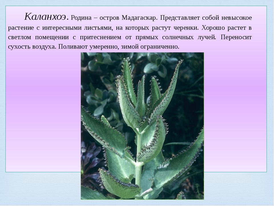 Каланхоэ.Родина – остров Мадагаскар. Представляет собой невысокое растение с...