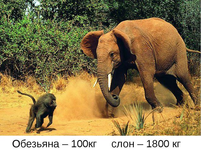 Обезьяна – 100кг слон – 1800 кг
