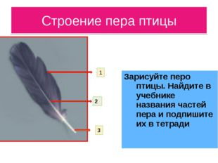Строение пера птицы Зарисуйте перо птицы. Найдите в учебнике названия частей