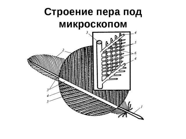 Строение пера под микроскопом