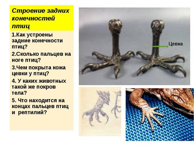 Строение задних конечностей птиц 1.Как устроены задние конечности птиц? 2.Ско...
