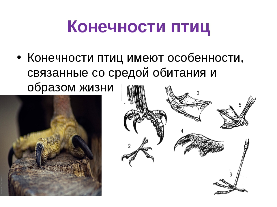 Конечности птиц Конечности птиц имеют особенности, связанные со средой обитан...