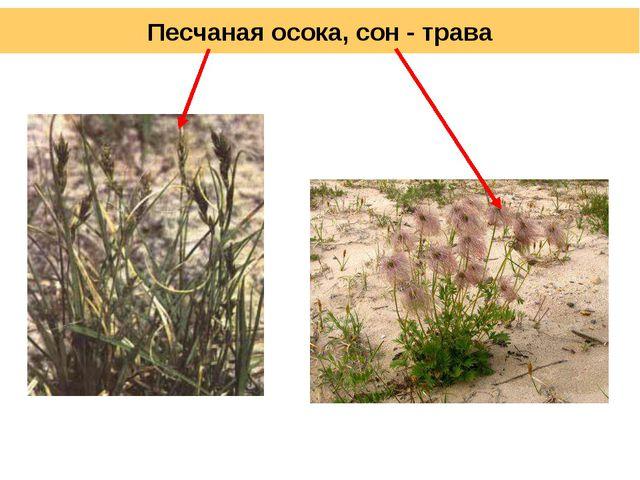 Песчаная осока, сон - трава