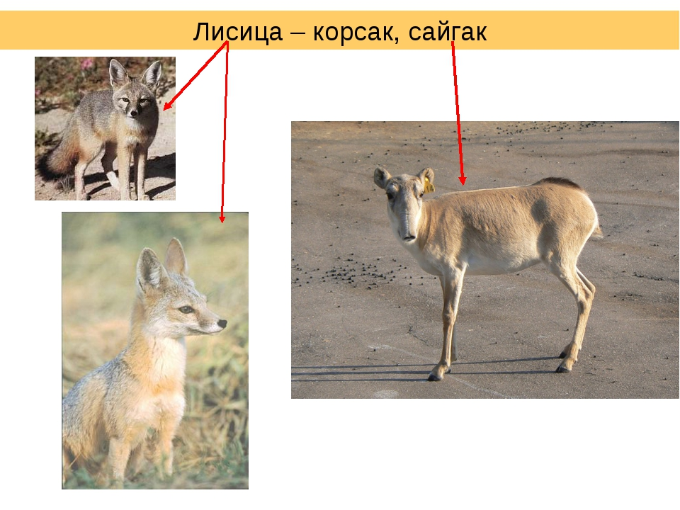 Лисица – корсак, сайгак