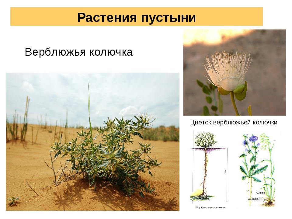 Растения пустыни Верблюжья колючка Цветок верблюжьей колючки