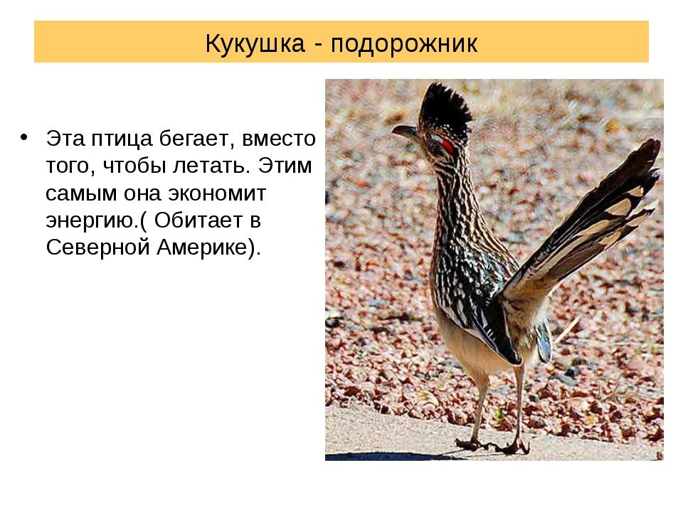 Кукушка - подорожник Эта птица бегает, вместо того, чтобы летать. Этим самым...