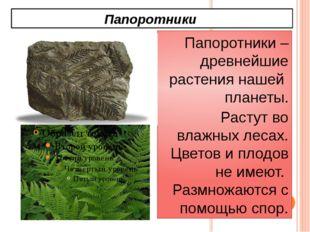 Папоротники Папоротники – древнейшие растения нашей планеты. Растут во влажны