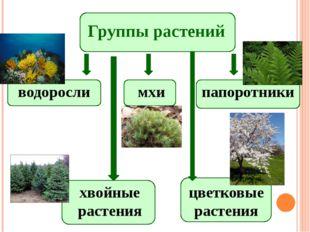 Группы растений водоросли мхи папоротники хвойные растения цветковые растения