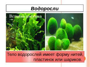 Водоросли Тело водорослей имеет форму нитей, пластинок или шариков.