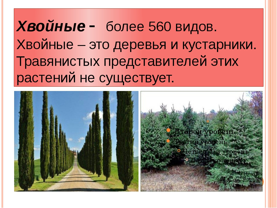 Хвойные - более 560 видов. Хвойные – это деревья и кустарники. Травянистых пр...