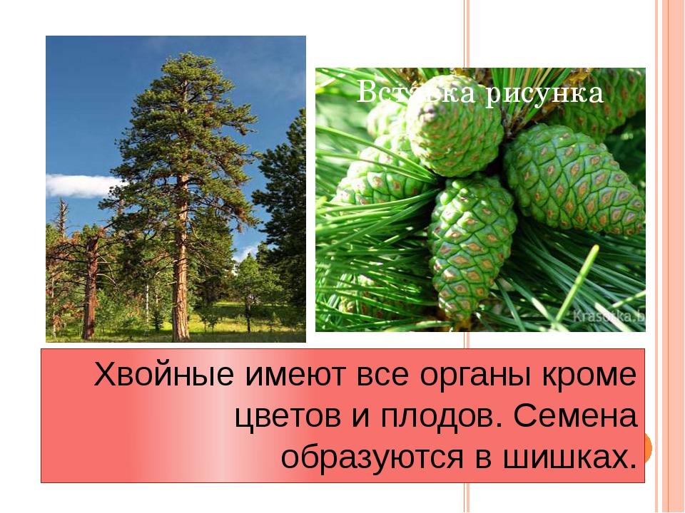 Хвойные имеют все органы кроме цветов и плодов. Семена образуются в шишках.