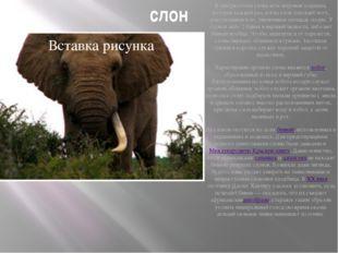 слон В центре стопы слона есть жировая подушка, которая каждый раз, когда сло