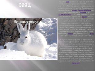 заяц Крупныйзаяц: длина тела взрослых животных от 44 до 65см, изредка дости