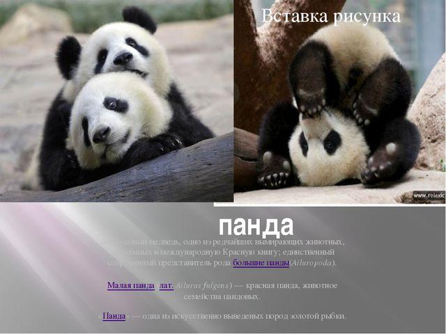 панда бамбуковый медведь, одно из редчайших вымирающих животных, занесённых...