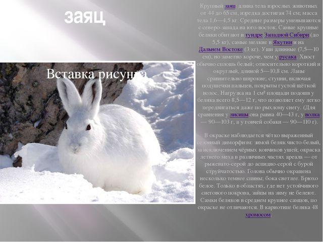 заяц Крупныйзаяц: длина тела взрослых животных от 44 до 65см, изредка дости...