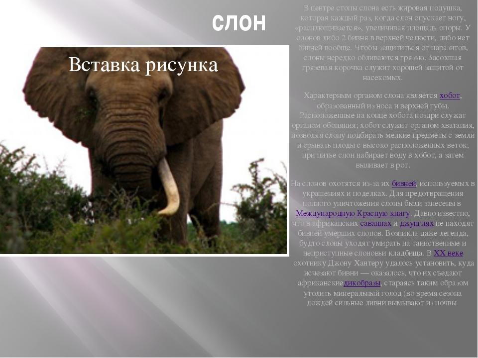 слон В центре стопы слона есть жировая подушка, которая каждый раз, когда сло...