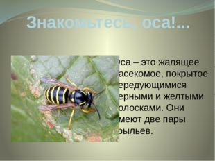 Знакомьтесь, оса!... Оса – это жалящее насекомое, покрытое чередующимися черн