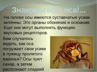 Знакомьтесь, оса!... На голове осы имеются суставчатые усики-антенны. Этоорг