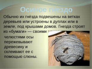 Осиное гнездо Обычно их гнёзда подвешены на ветках деревьев или устроены в ду