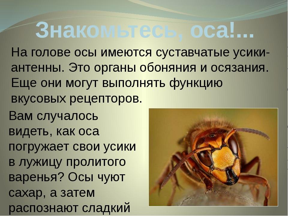 Знакомьтесь, оса!... На голове осы имеются суставчатые усики-антенны. Этоорг...