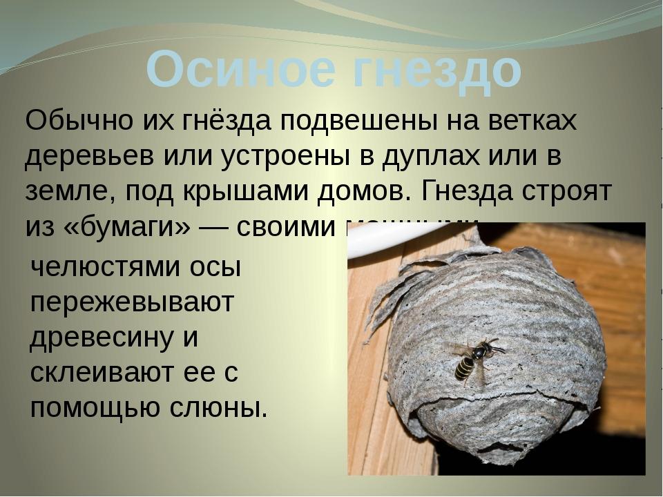Осиное гнездо Обычно их гнёзда подвешены на ветках деревьев или устроены в ду...
