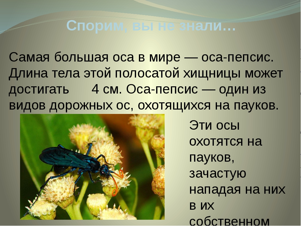 Спорим, вы не знали… Эти осы охотятся на пауков, зачастую нападая на них в их...