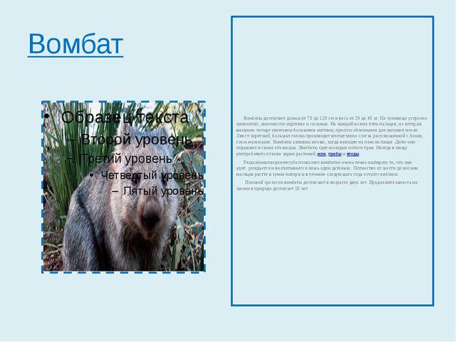 Вомбат Вомбаты достигают длины от 70 до 120см и веса от 20 до 45кг. Их туло...