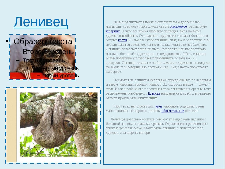 Ленивец Ленивцы питаются почти исключительно древесными листьями, хотя могут...