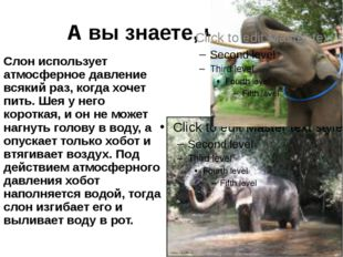 А вы знаете, что… Слон использует атмосферное давление всякий раз, когда хоче