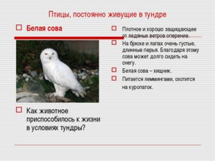 Птицы, постоянно живущие в тундре Белая сова Как животное приспособилось к жи
