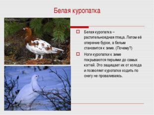 Белая куропатка Белая куропатка – растительноядная птица. Летом её оперение б