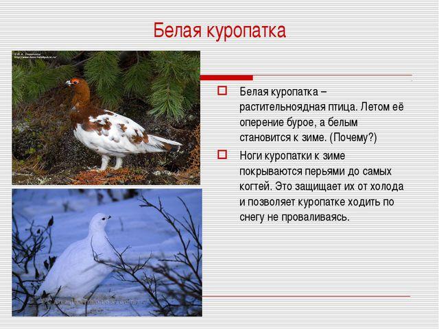 Белая куропатка Белая куропатка – растительноядная птица. Летом её оперение б...
