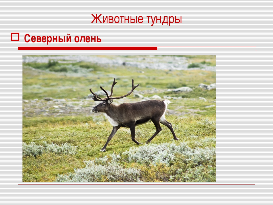 Животные тундры Северный олень