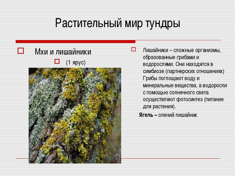 Растительный мир тундры Мхи и лишайники (1 ярус) Лишайники – сложные организм...