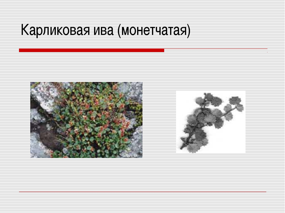 Карликовая ива (монетчатая)