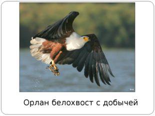 Орлан белохвост с добычей