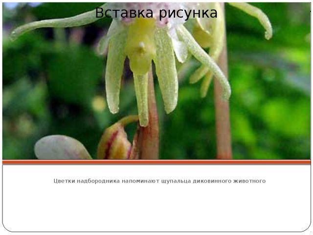 Цветки надбородника напоминают щупальца диковинного животного