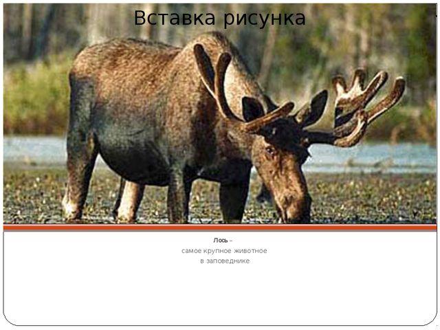 Лось – самое крупное животное в заповеднике