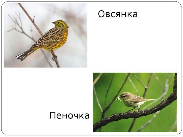 Овсянка Пеночка