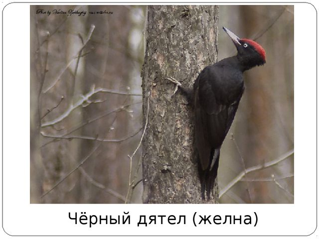 Чёрный дятел (желна)