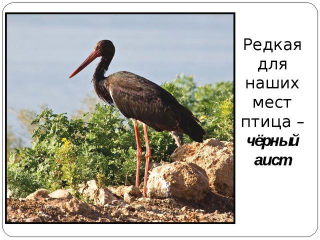 Редкая для наших мест птица – чёрный аист