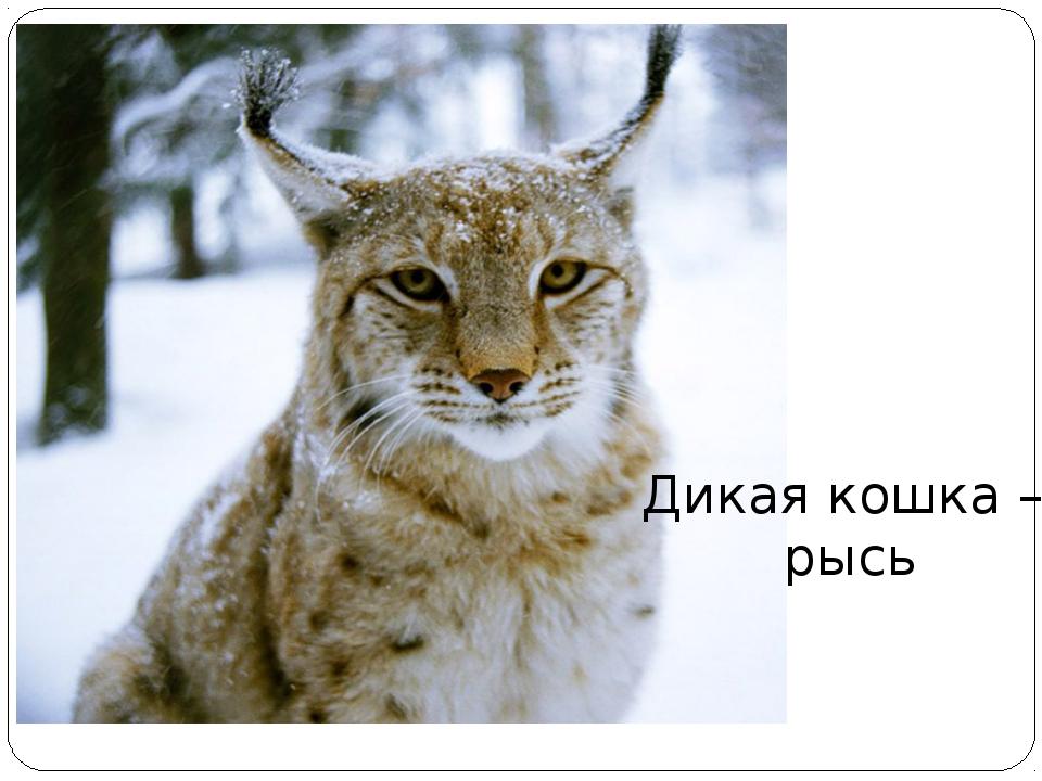 Дикая кошка – рысь
