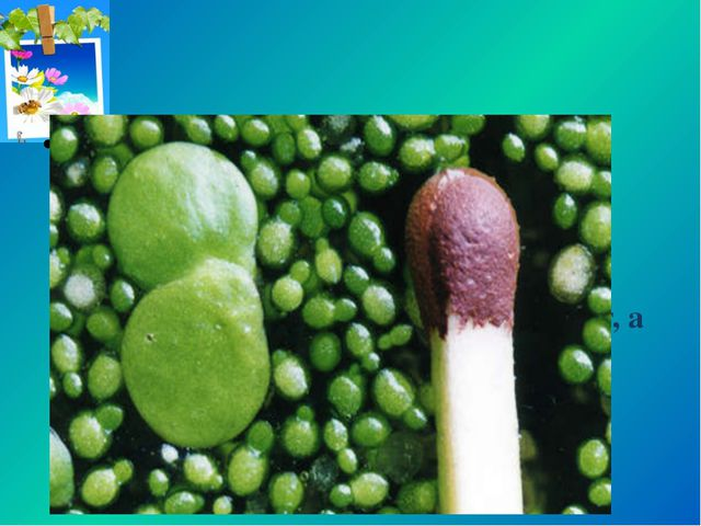 Самым крошечным цветковым растением считается вольфия бескорневая. Поперечник...