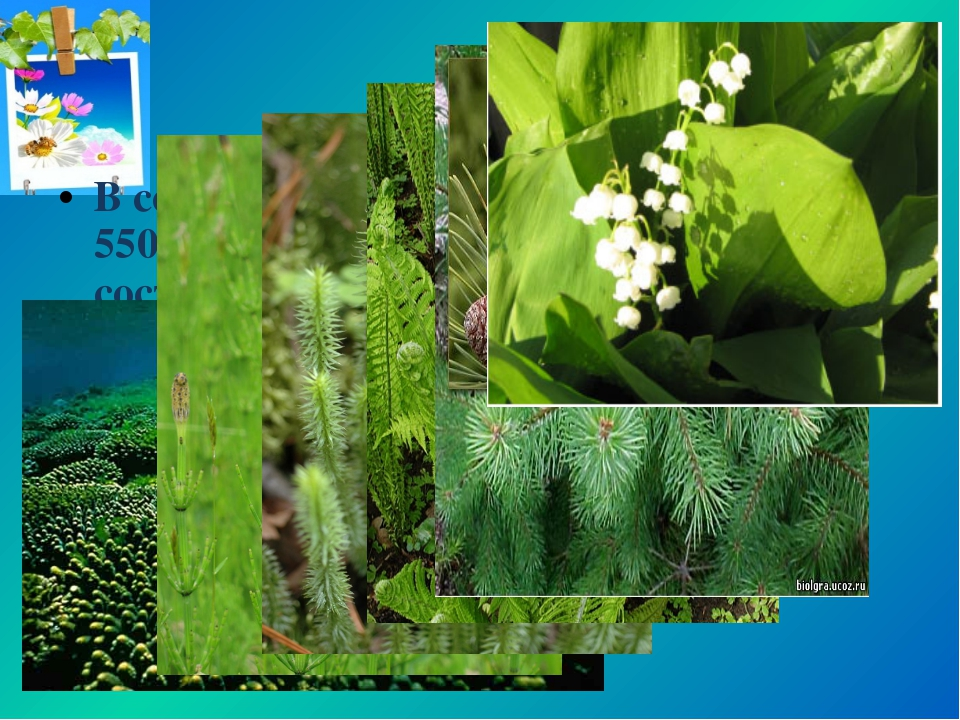 В современном мире насчитывают более 550 тыс. видов растений. Они составляют...